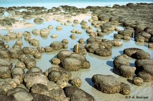 Des stromatolithes formées par les cyanobactéries.