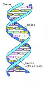 Représentation schématique de la molécule d'ADN