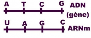 Correspondance des bases: de l'ADN à l'ARN