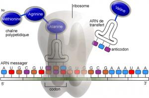 ARN et ribosomes acteurs de la traduction